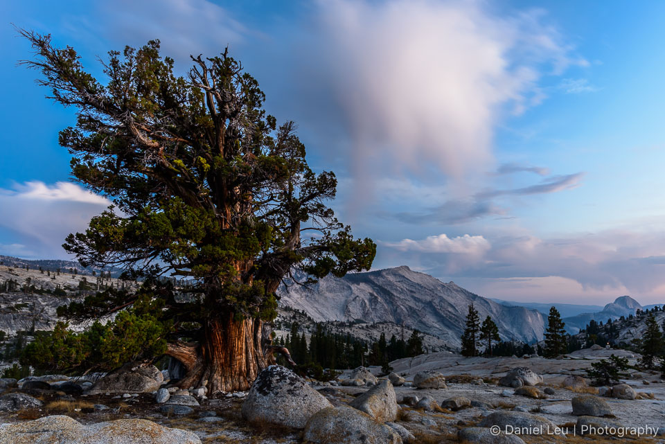Juniper Tree with Half Dome