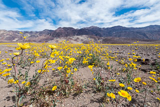 DL_20160227_DSC4372_Death_Valley_Wildflowers.jpg