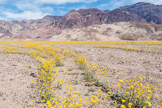 DL_20160227_DSC4392_Death_Valley_Wildflowers.jpg