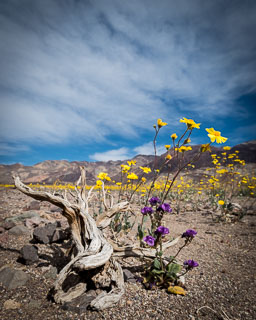 DL_20160227_DSC4419_Death_Valley_Wildflowers.jpg