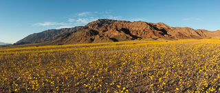 DL_20160227_DSC4487-Pano_Death_Valley_Wildflowers.jpg