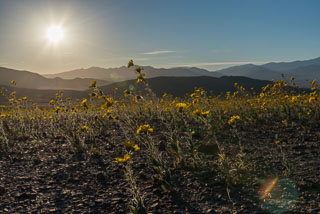 DL_20160227_DSC4500_Death_Valley_Wildflowers_v1.jpg