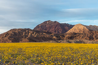 DL_20160228_DSC4588_Death_Valley_Wildflowers.jpg