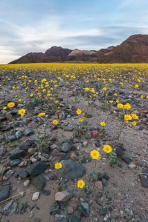DL_20160228_DSC4656_Death_Valley_Wildflowers.jpg