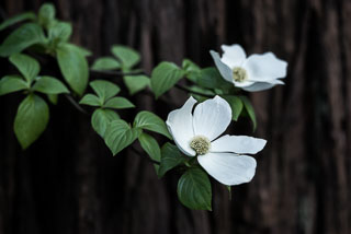 DL_20160421_DSC4961-Yosemite-Dogwood-Blooming.jpg