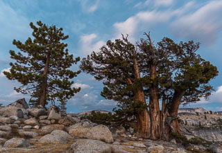 DL_20160820_DSC1483-Yosemite-Juniper-Tree.jpg